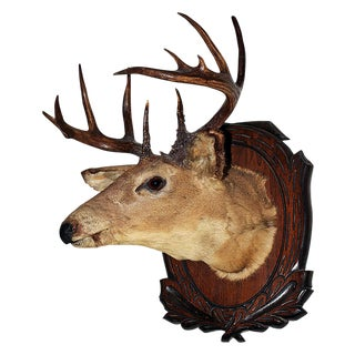 Deer Trophy Taxidermy