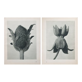 Karl Blossfeldt Double Sided Photogravure N69-70