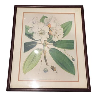 19th Century Rhododendron Art Print