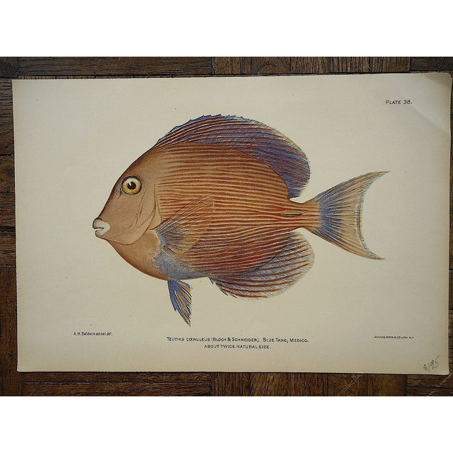 Antique Tropical Fish Lithographs - Set of 3 - Image 4 of 5