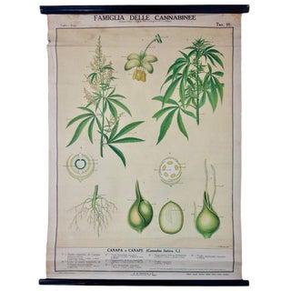 Vintage Italian Cannabis Educational Poster