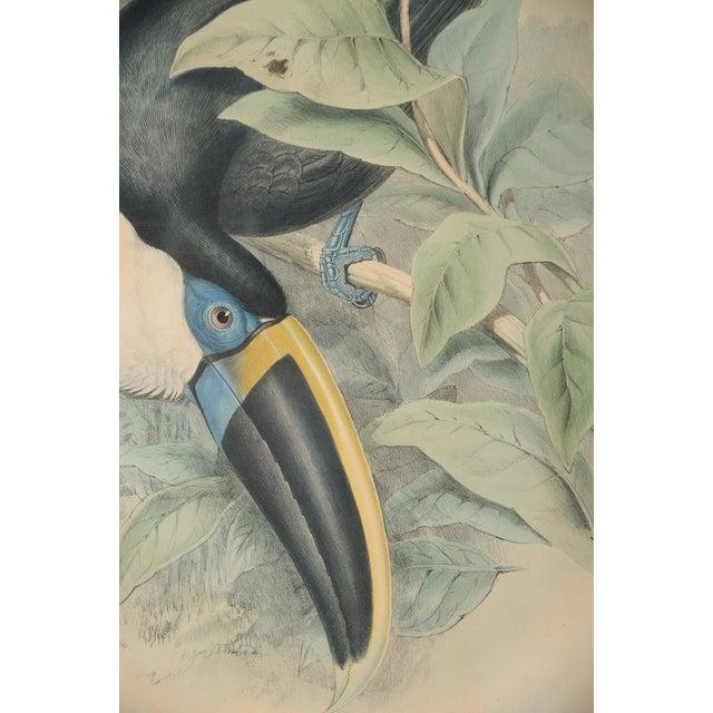 "John Gould ""Ramphatos Cuvieri-Toucan"" Bird Litho. - Image 4 of 8"