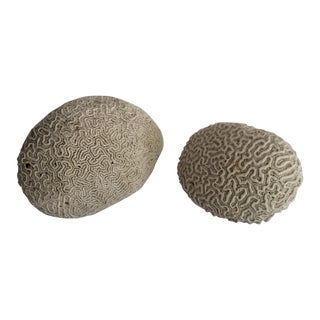 Brain Coral Specimens - A Pair