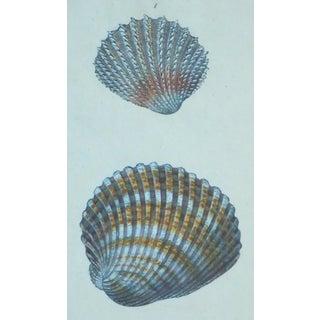 Cardita Shells, 1803