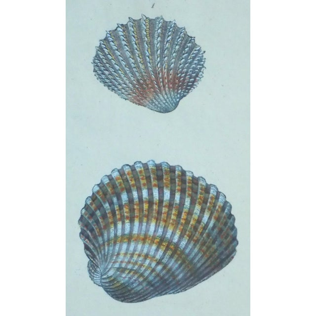 Cardita Shells, 1803 - Image 1 of 5
