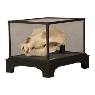 Boldly Mounted Bear Skull, Holland c.1940, Original Label