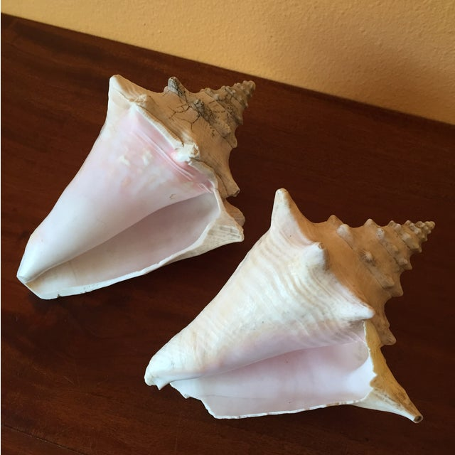 Vintage Queen Conch Shells - A Pair - Image 2 of 11