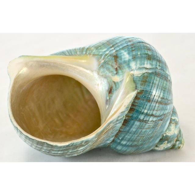 Turquoise Turbo Sea Shell - Image 5 of 5