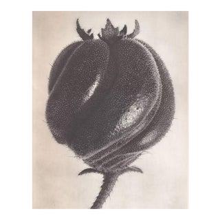 Original 1928 Karl Blossfeldt Botanical Study