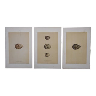 Antique Egg Lithographs - Set of 3-Plover Eggs