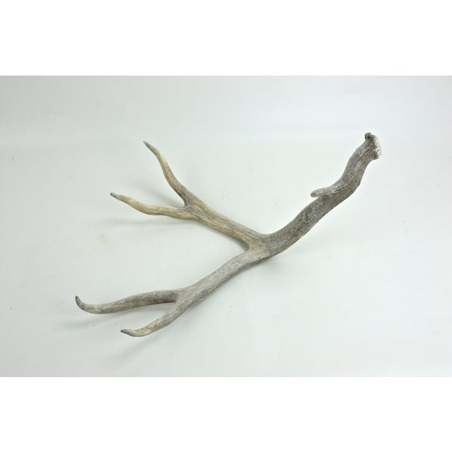 Naturally-Shed Weather-Worn Large 5-Point Antler - Image 4 of 4