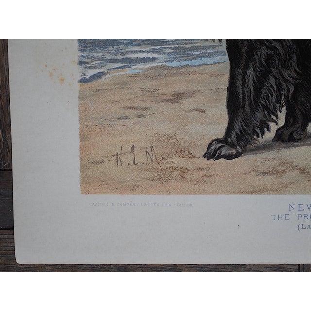 Antique Dog Lithograph - Newfoundland - Image 4 of 5