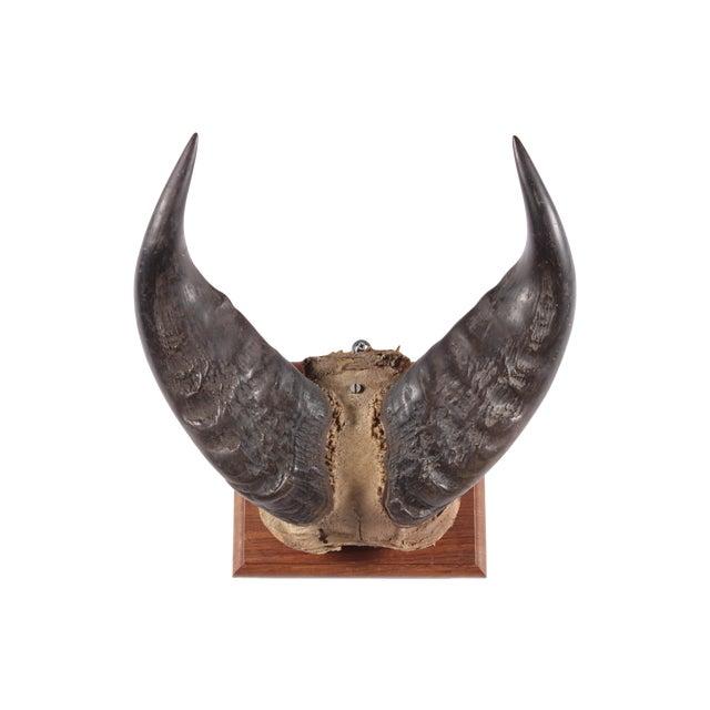 Image of Water Buffalo Mounted Horns