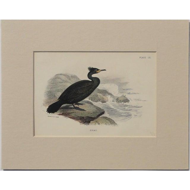 """Image of 1890 """"Shag"""" Original Chromolithograph"""