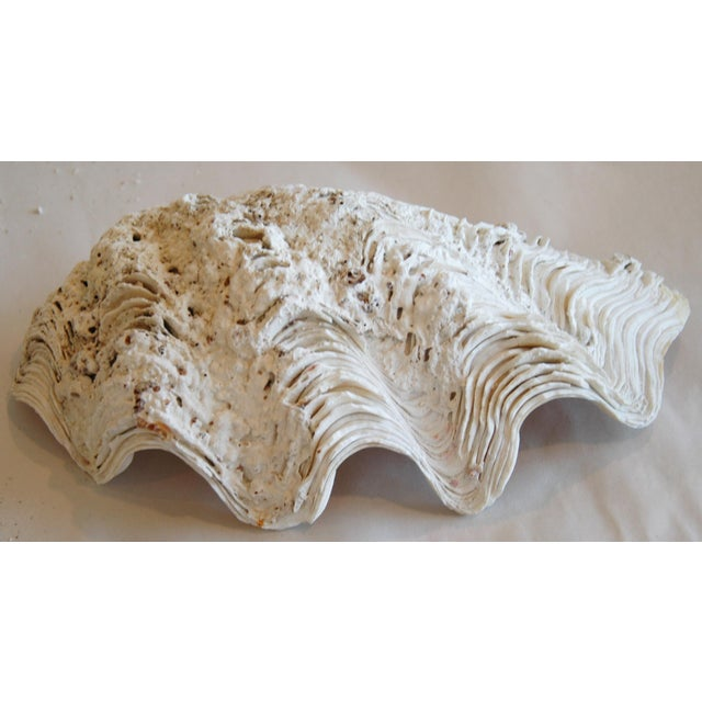 Antique Nautical Seashells Clamshells - Set of 3 - Image 8 of 10