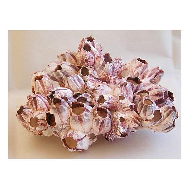 Saltwater Purple/White Barnacle Cluster Specimen - Image 3 of 3