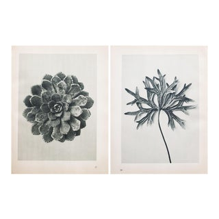 Karl Blossfeldt Double Sided Photogravure N27-28
