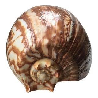 Vintage Baler Seashell Specimen