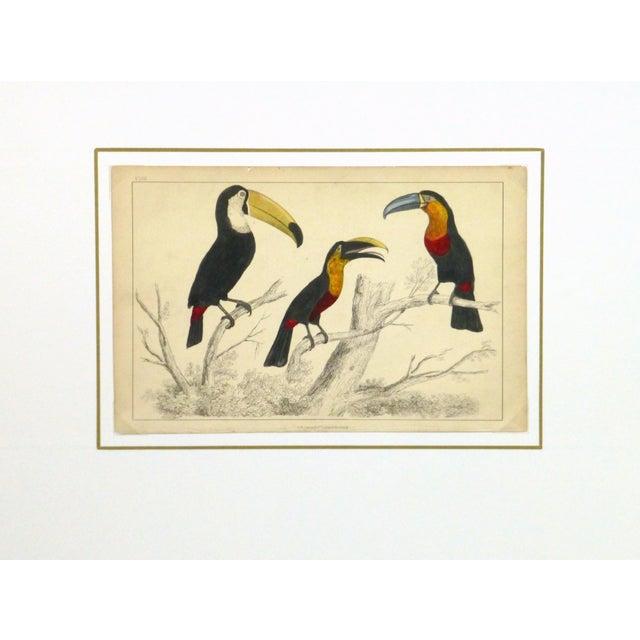 Image of Antique Engraving, Toucans, C. 1850