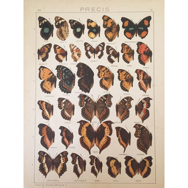 1910 Butterfly Specimen Lithograph - Image 1 of 4
