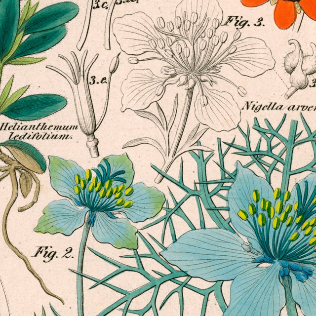 Antique 'Botanical Plate' Archival Print - Image 2 of 4