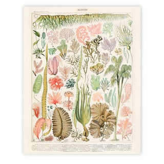 Adolphe Millot Illustrated Algae Canvas Poster