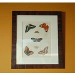 Image of Antique Butterfly Prints Set of Eight