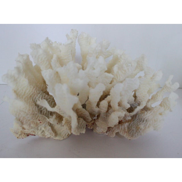 Image of Natural Coral Specimen