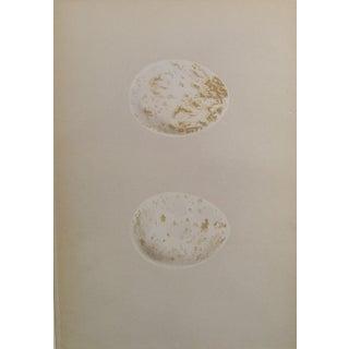 Speckled Cream Eggs Lithograph, Circa 1900