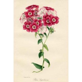 1847 Phlox Botanical Print