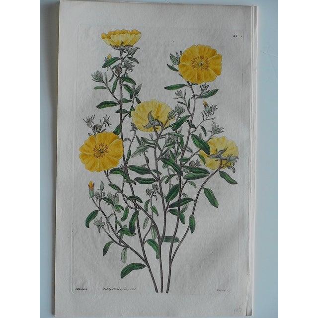 Antique Botanical Engravings - Set of 3 - Image 5 of 6