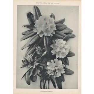 Vintage Botanical-Rhododendron-Art Photography