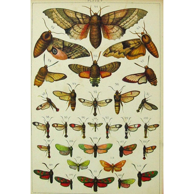 Antique Moth Lithograph - Image 3 of 3