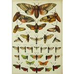Image of Antique Moth Lithograph
