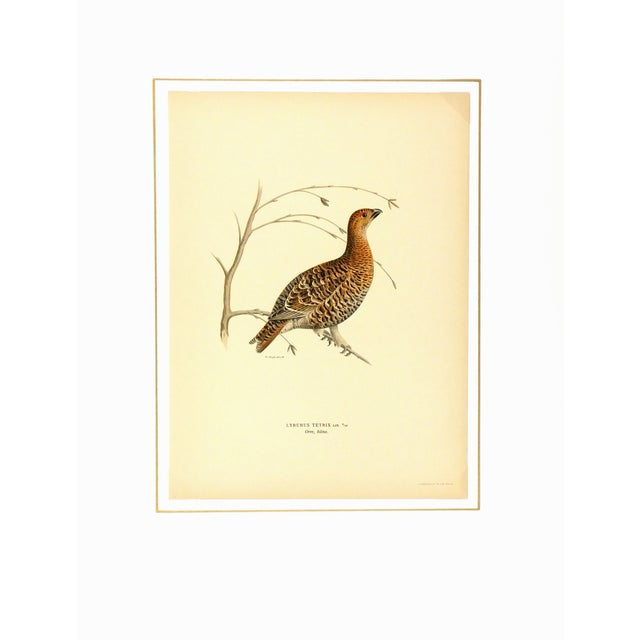 Image of Vintage Bird Print - Grouse, 1929