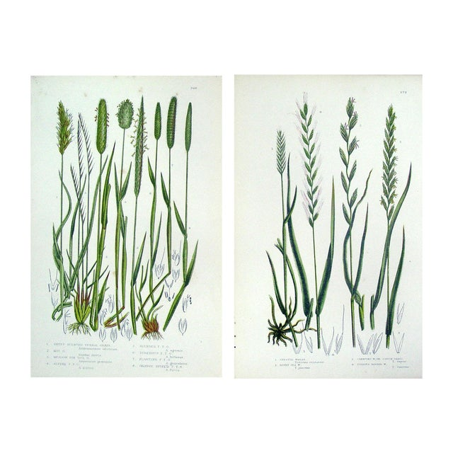 Antique Botanical Grasses Lithograph - A Pair - Image 1 of 4