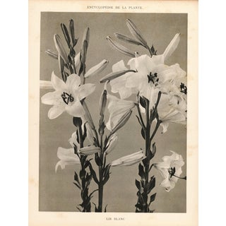 1904 Vintage Botanical White Lily Art Photograph