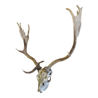 Vintage English Fallow Deer Skull & Antlers