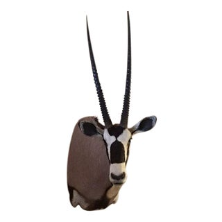 Trophy Oryx from Africa