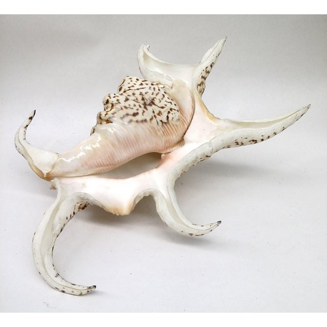 Spider Conch Shell - Image 7 of 9