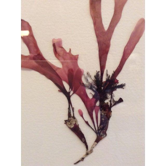 Pressed Santa Barbara Seaweed 6 - Image 3 of 3