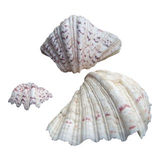 Natural Cockle Seashells - Set of 3