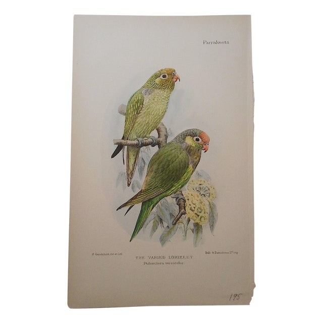 Image of Antique Male and Female Parakeet Lithograph