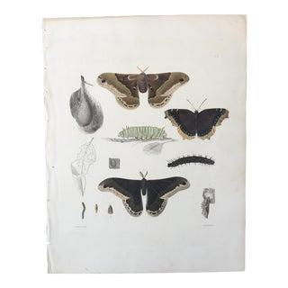 1854 Emmons Entomology Insect Lithograph - Prometheus Moth