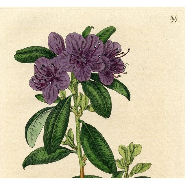 Siberian Rhododendron, Botanical Print - Image 2 of 3