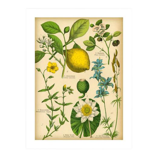 Antique 'Lemon Botanical' Archival Print - Image 1 of 4