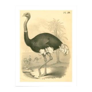 Antique Ostrich Archival Print