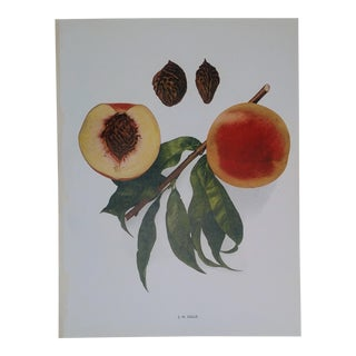 Vintage Turn of the Century Botanical Lithograph Hj Hale Peach