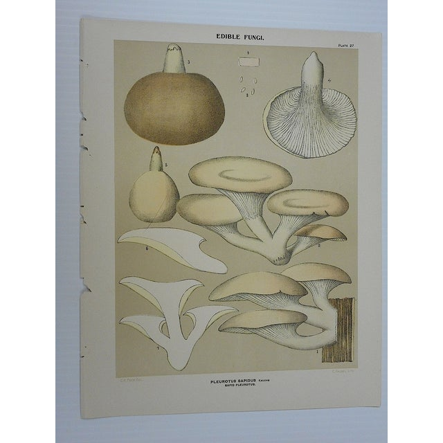 Antique Mushroom Lithographs- Set of 3 - Image 5 of 5