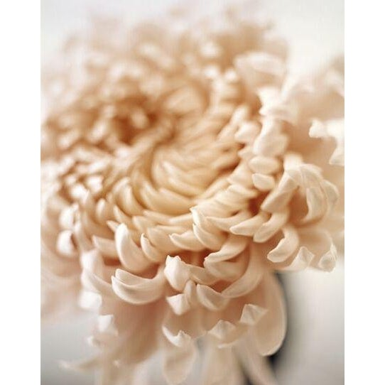Chrysanthemum Polaroid print by Sandi Fellman - Image 2 of 3